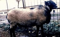 Романовска(Romanov sheep)