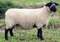 Суфолк(Suffolk sheep)